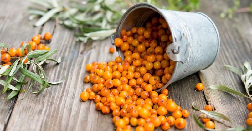 Les baies d'Argousier, sources naturelles de vitamine C et nombreuxbienfaits.